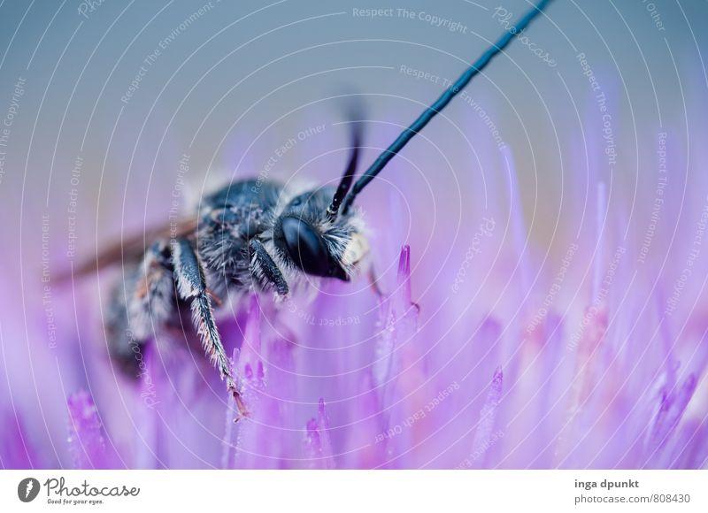 Ein Schluck Nektar Tier Wildtier Biene 1 Umwelt bestäuben Farbfoto Außenaufnahme Menschenleer Tag Schatten Schwache Tiefenschärfe Tierporträt