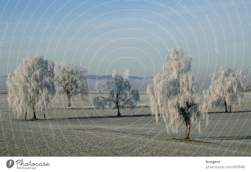 Zuckerguss Baum Birke Raureif Feld kalt Schweiz Winter hoar frost Schnee Himmel blau Morgen Schatten Landschaft Frost tree snow