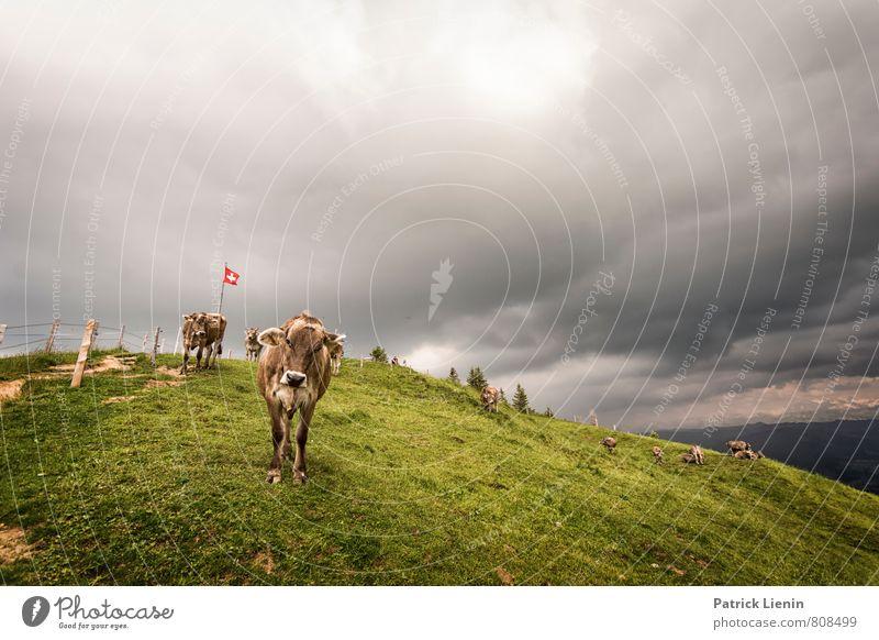 Grüezi Natur Pflanze schön Landschaft Tier Umwelt Berge u. Gebirge Wiese feminin Wetter wild modern Klima Fröhlichkeit Tiergruppe bedrohlich