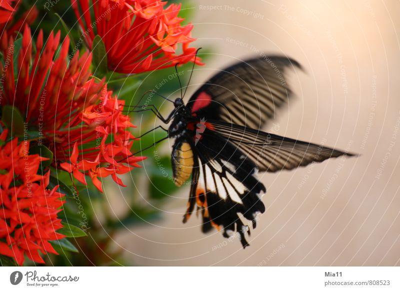 Hunger Natur Pflanze Blume Blüte Tier Flügel 1 fliegen rot schwarz Schmetterling Rüssel Speise Essen Farbfoto Außenaufnahme Nahaufnahme Tag Bewegungsunschärfe