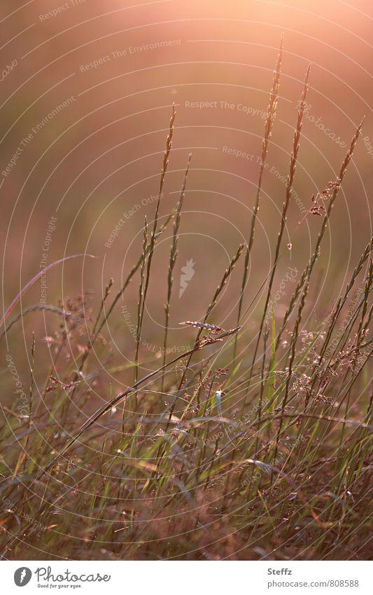 eine Sommerwiese im warmen Licht am Spätnachmittag im Juli Wiese Nachmittagslicht Nachmittagsstimmung heimisch heimische Wildpflanzen warmes Licht warme Farben