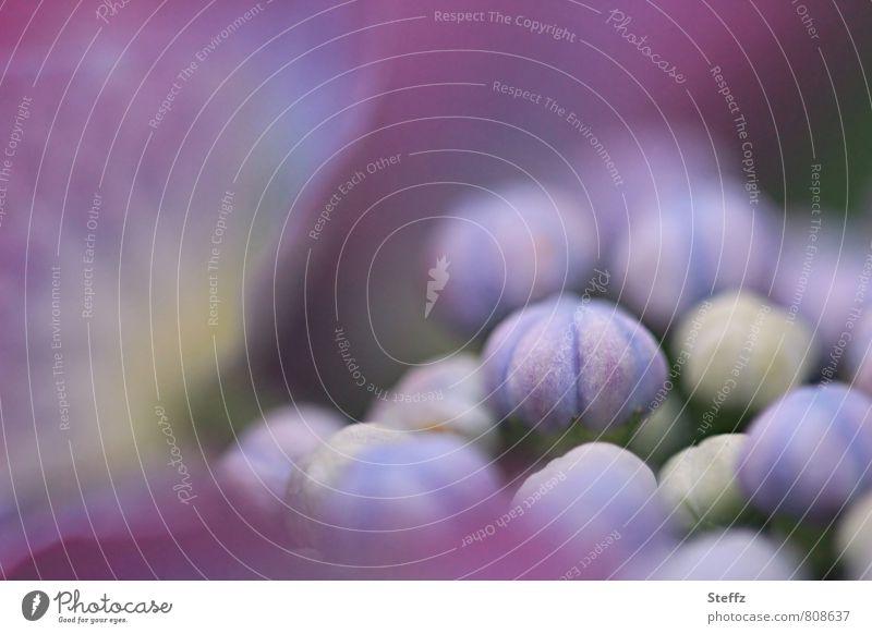zum Blühen bereit Natur Pflanze Sommer Blüte Beginn Blühend violett Blütenknospen sommerlich Jungpflanze entfalten Hortensie Sommerblumen Juli Gartenpflanzen startbereit