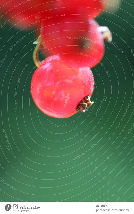 beerig Frucht Johannisbeeren Ernährung Picknick Bioprodukte Vegetarische Ernährung Erfrischungsgetränk Saft Gesundheit Sommer Garten Umwelt Natur Pflanze
