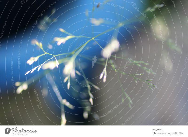Gräser im Licht Natur blau Pflanze Farbe Sommer Erholung Umwelt Leben Bewegung Wiese Gras Garten Stimmung Luft Wachstum ästhetisch