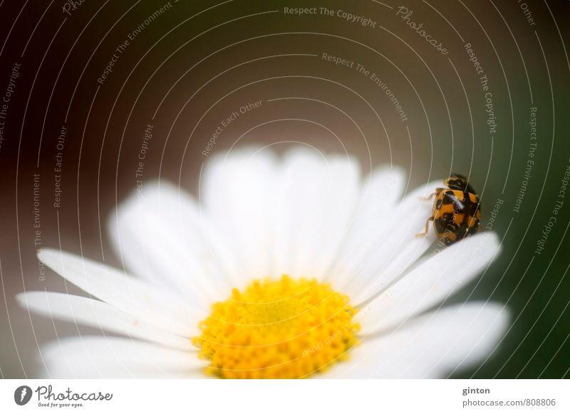 Vierzehnpunkt Marienkäfer Natur Pflanze schön grün weiß Sommer Blume Tier schwarz gelb Bewegung Blüte gehen braun glänzend orange