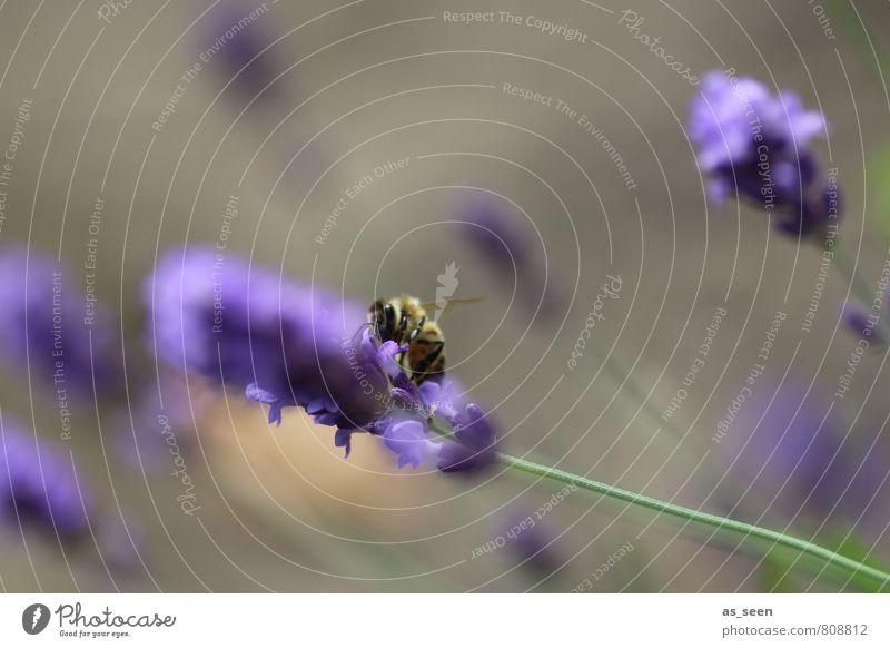 im Wind Öl Lavendel Lavendelfeld Bioprodukte Vegetarische Ernährung Honig Gesundheit Wellness harmonisch Sommer Garten Umwelt Natur Pflanze Tier Blume Blüte