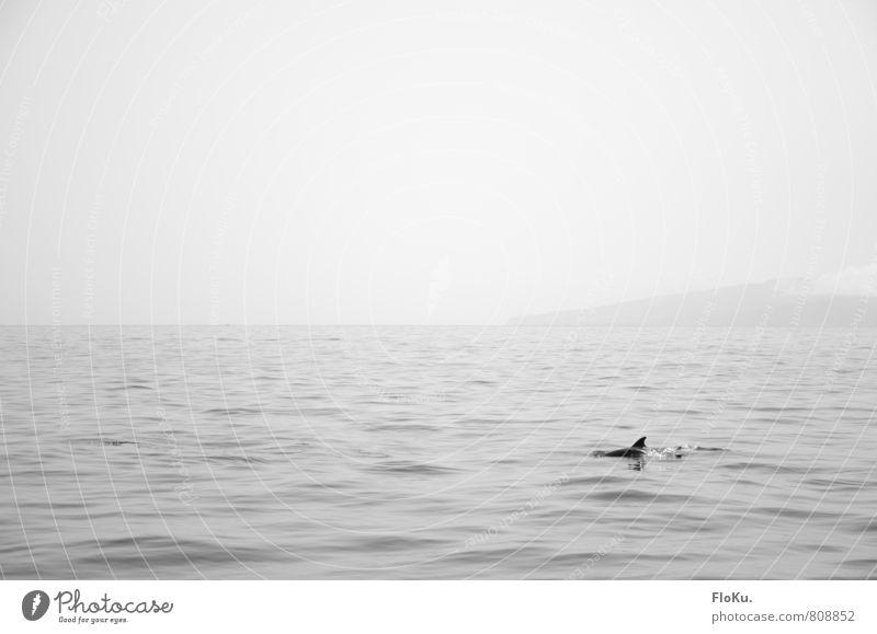 tümmelnde Tümmler Ferien & Urlaub & Reisen Ausflug Abenteuer Meer Umwelt Natur Urelemente Wasser Himmel Horizont Wellen Atlantik Insel Gomera Kanaren Tier