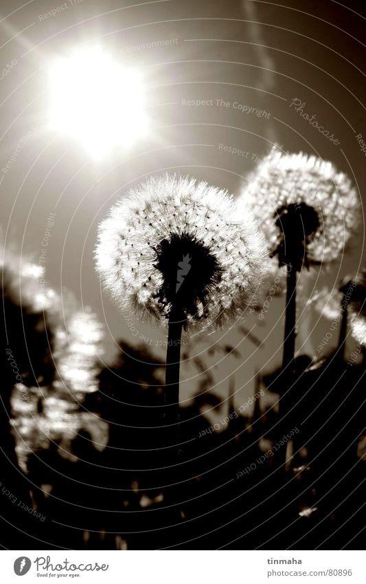 pusteblume Löwenzahn Blume Pflanze Gegenlicht Wiese Sommer Wildpflanze Freude Botanik Sonne warme jahreszeit