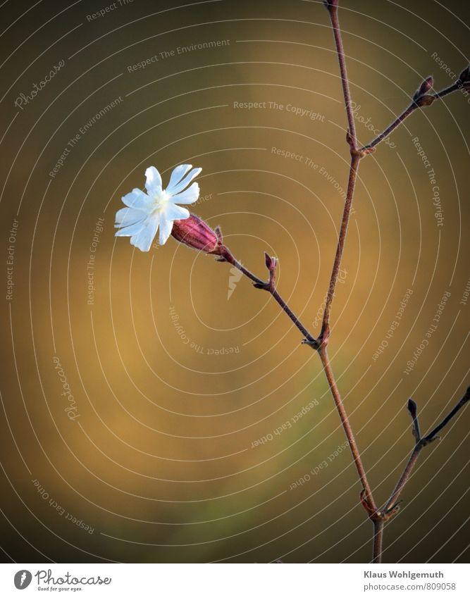 Kleine Kostbarkeit 5 Umwelt Natur Pflanze Sommer Blüte Wildpflanze Ackerlichtnelke Unkraut Feld Blühend braun rot weiß filigran Farbfoto Außenaufnahme
