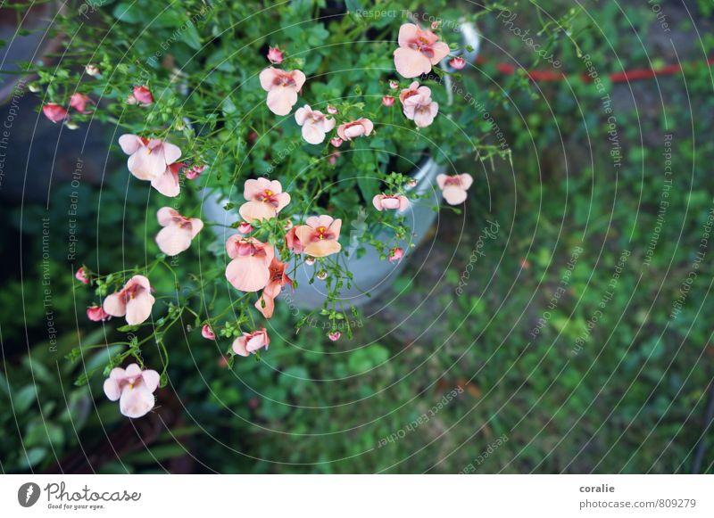 gartengut Natur Pflanze schön grün Sommer Blume Blüte Frühling Garten rosa Wachstum Dekoration & Verzierung Blühend zart Blütenknospen Geborgenheit