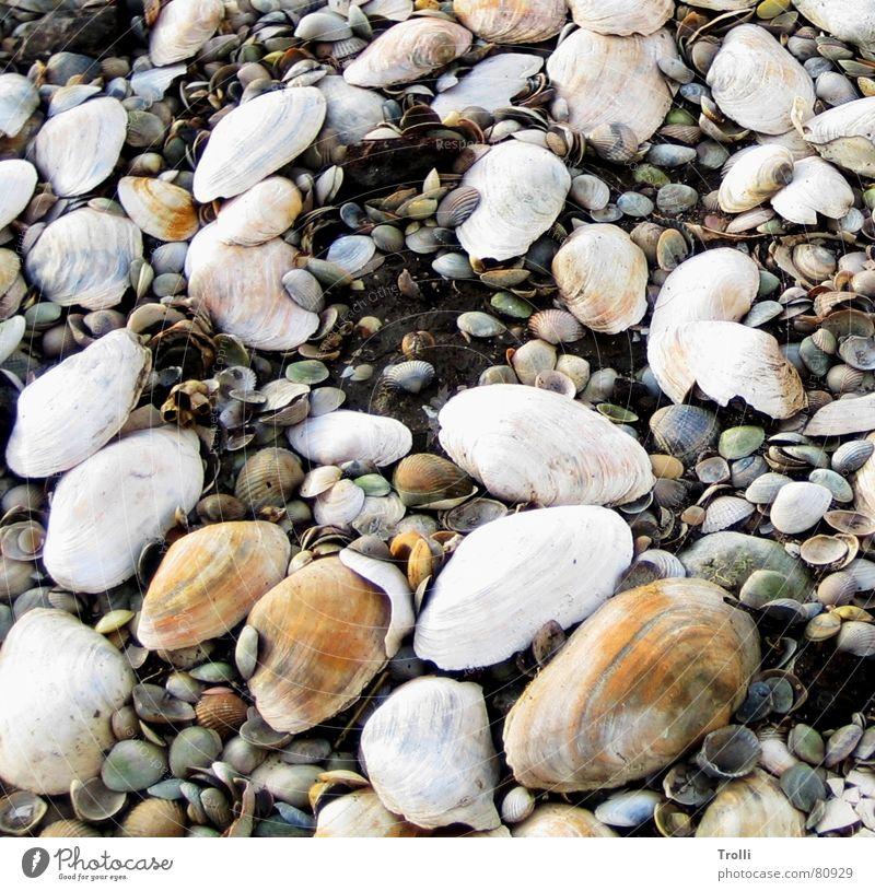 Große Familie mehrere mehrfarbig Muschel Strand Meer Küste viele Erde orange