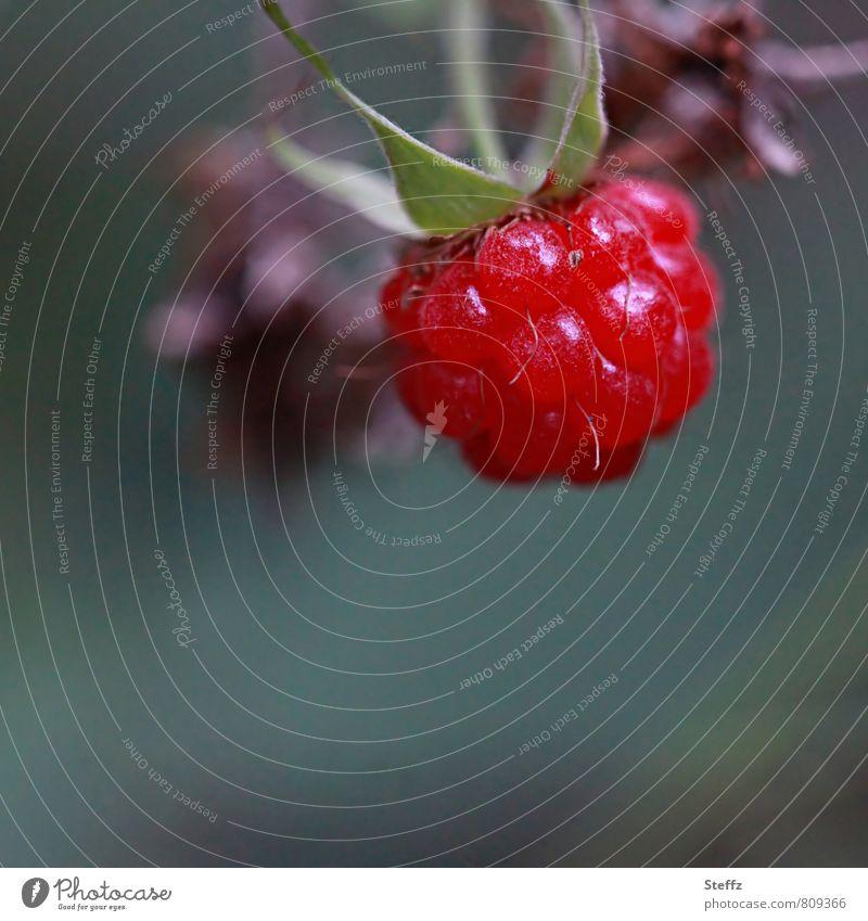 Textfreiraum l pflückreife Himbeere rote Himbeere Waldfrucht Beere rote Beere Sommerfrucht rote Frucht rote Früchte Beeren pflückreife Beeren Sommerfrüchte
