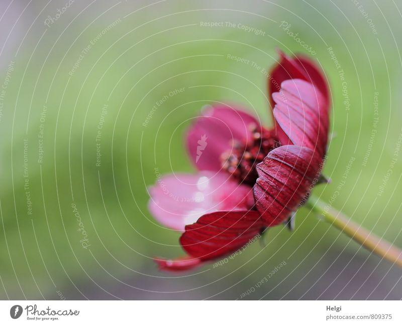 Textfreiraum | ...links Umwelt Natur Pflanze Sommer Blume Blüte Schmuckkörbchen Blütenblatt Stengel Garten Blühend glänzend Wachstum ästhetisch frisch schön