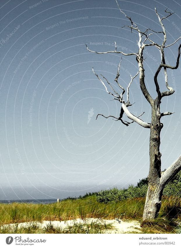 Baumsterben Wasser Meer Sommer Tod Vergänglichkeit Baumstamm Stranddüne Ostsee Abholzung
