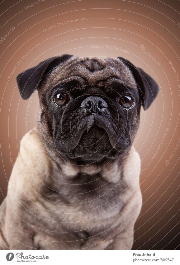 Portraitfotografie eines Mopses mit Aura Haustier Hund Tiergesicht Fell 1 dick Freundlichkeit kuschlig Kitsch braun Zufriedenheit Ehre Tapferkeit Kraft Mut