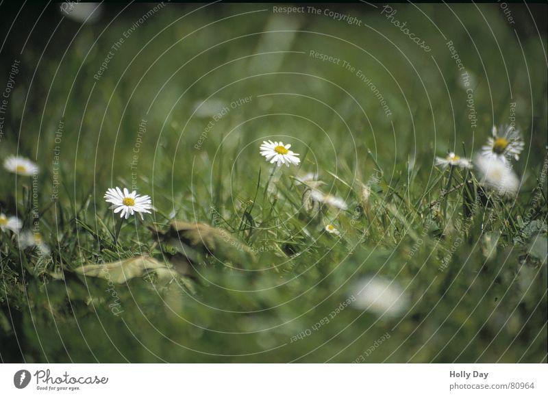 Weiß auf Grün Blume Sommer Wiese Blüte Gras Park Rasen Gänseblümchen 2006 Juni