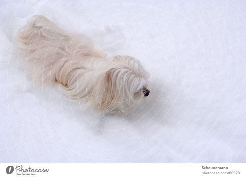 Das Yeti Hund kalt Winter Ton-in-Ton Säugetier Schnee trist snow schneehund Schwarzweißfoto Fell