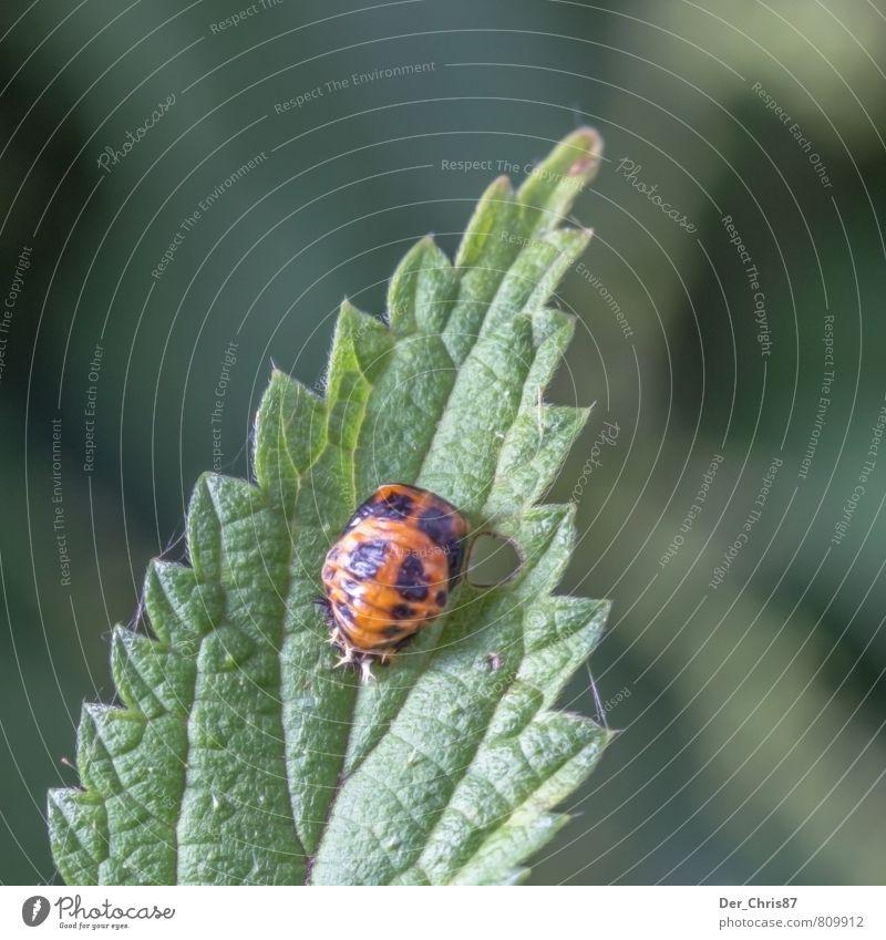 Böser Marienkäfer? Natur Pflanze grün Einsamkeit Blatt Tier schwarz Umwelt orange Angst Wildtier bedrohlich Abenteuer gruselig hängen krabbeln