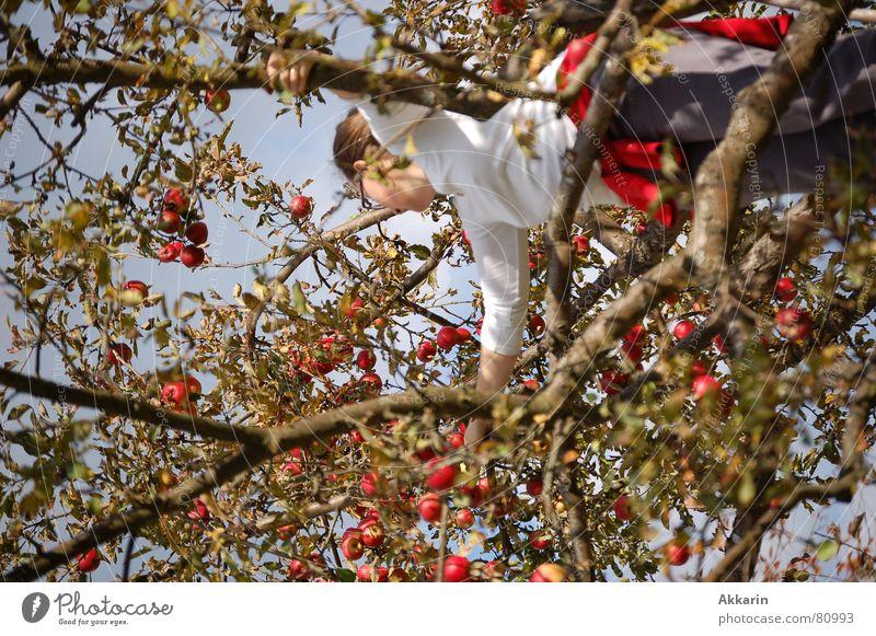 Apfelernte Baum Apfelbaum Sammlung Herbst eine person Ernte Klettern Ast Zweig Frucht