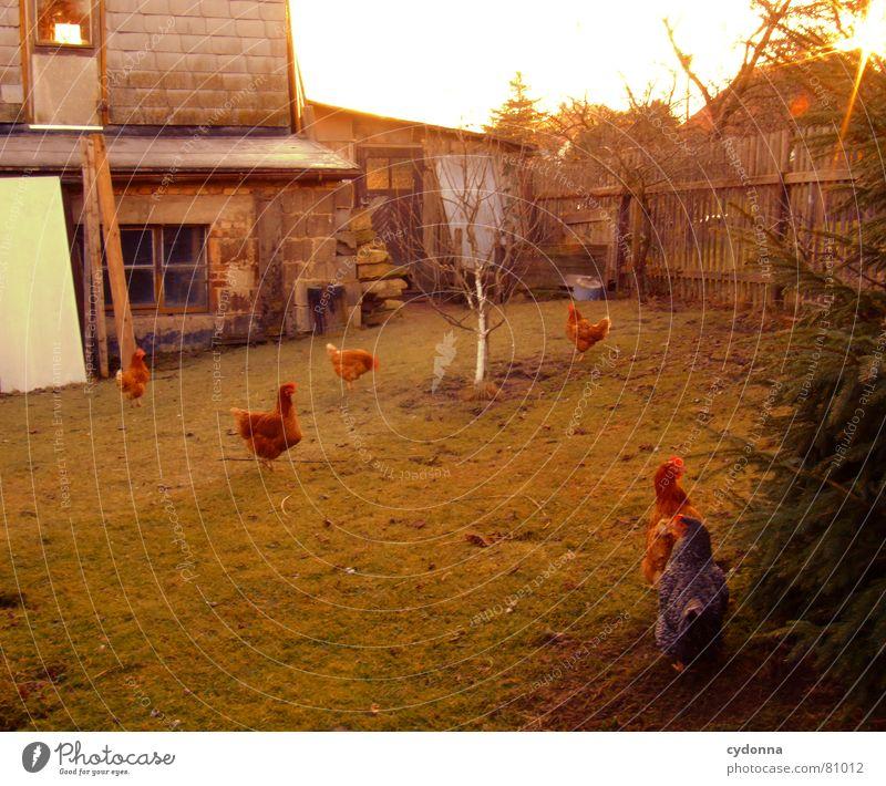 Wie die Hühner... auslaufen Obstbaum Haushuhn Tier Vogel Lebewesen Haustier Stall Produkt Hahn Körperhaltung grün Zaun ländlich Landwirtschaft Sonnenuntergang