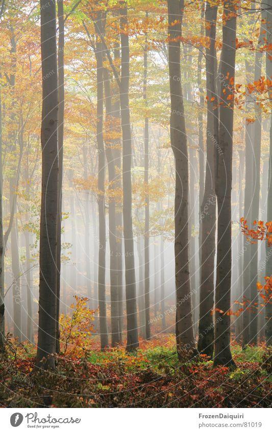 Nebelwald No. 4 Baum grün rot Blatt gelb Wald dunkel Herbst orange wandern Ausflug Bodenbelag Frieden Baumstamm Österreich
