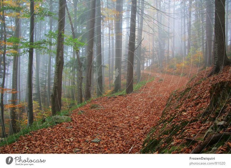 Herbstliche Forststraße No. 5 Baum grün rot Blatt gelb Straße Wald dunkel Wege & Pfade orange wandern Nebel Ausflug Kreis Bodenbelag