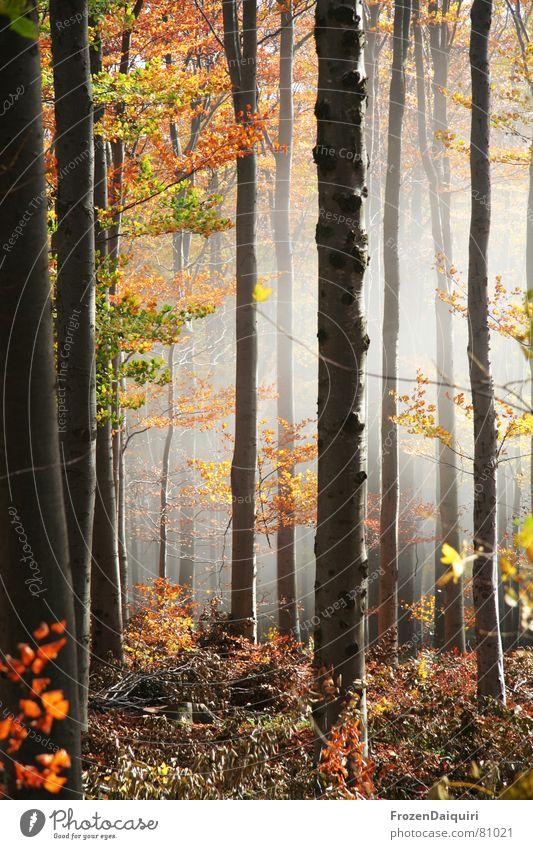 Nebelwald No. 2 Baum grün rot Blatt gelb Wald dunkel Herbst orange wandern Ausflug Bodenbelag Frieden Baumstamm Österreich