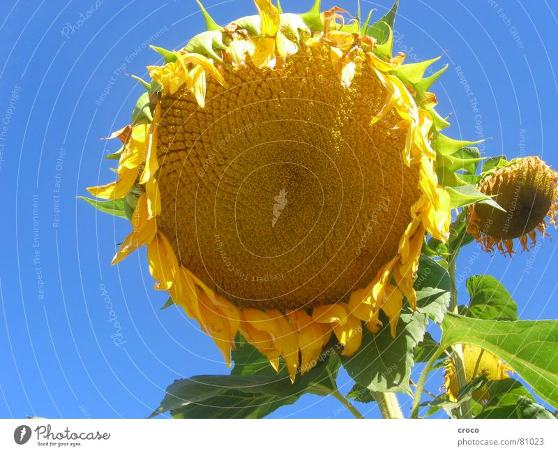 Sonnenblume Pflanze Sommer Blume gelb