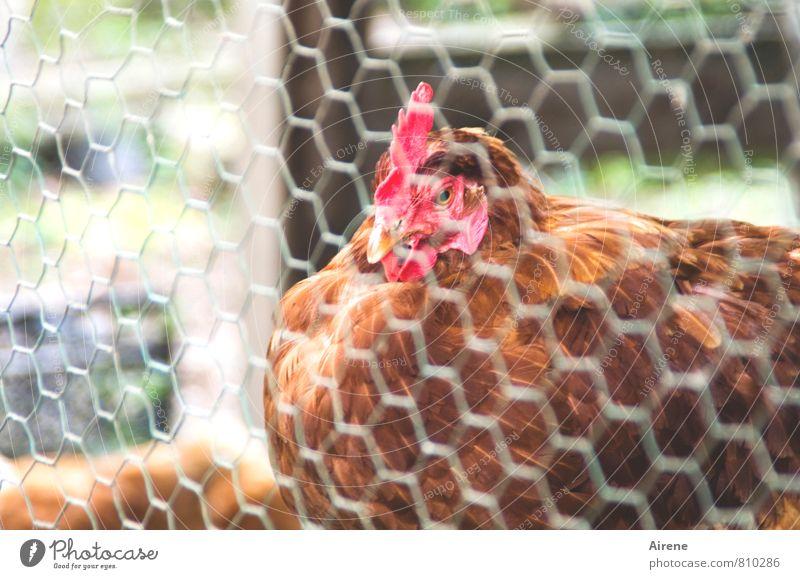 AST 7 | glücklich? Tier Haustier Nutztier Vogel Haushuhn 1 Metall Netzwerk sitzen Freundlichkeit Neugier braun rot Zufriedenheit ländlich Drahtzaun Gitternetz