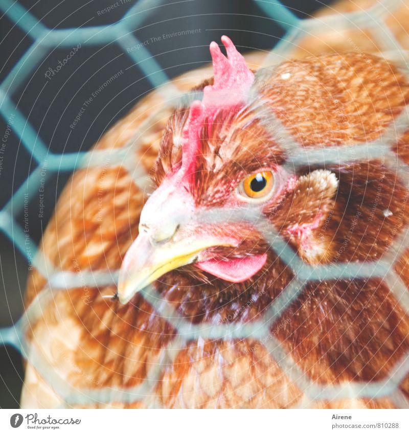 AST 7 | vernetztes Huhn Haustier Nutztier Haushuhn Glucke Netz Vogel Bauernhof Zufriedenheit gefangen Durchblick Gitternetz Drahtgitter Maschendraht Tiergesicht