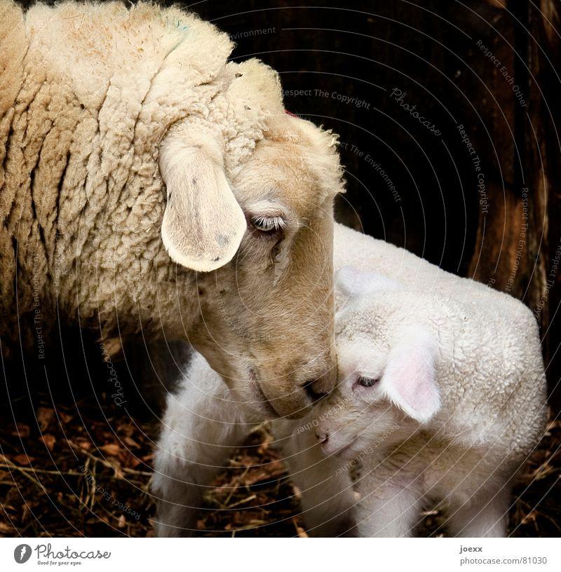 Doppelkopf Zoo Nutztier Tiergesicht Streichelzoo Schaf 2 Tierjunges Liebe stehen kuschlig klein nah Wärme braun Gefühle Vertrauen Geborgenheit Sympathie