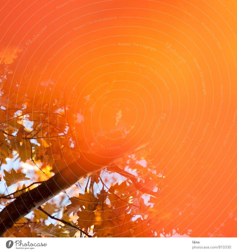 Herbst orange Umwelt Natur Schönes Wetter Baum Blatt Eiche Eichenblatt Wald Wandel & Veränderung Färbung herbstlich Ast mehrfarbig Textfreiraum rechts