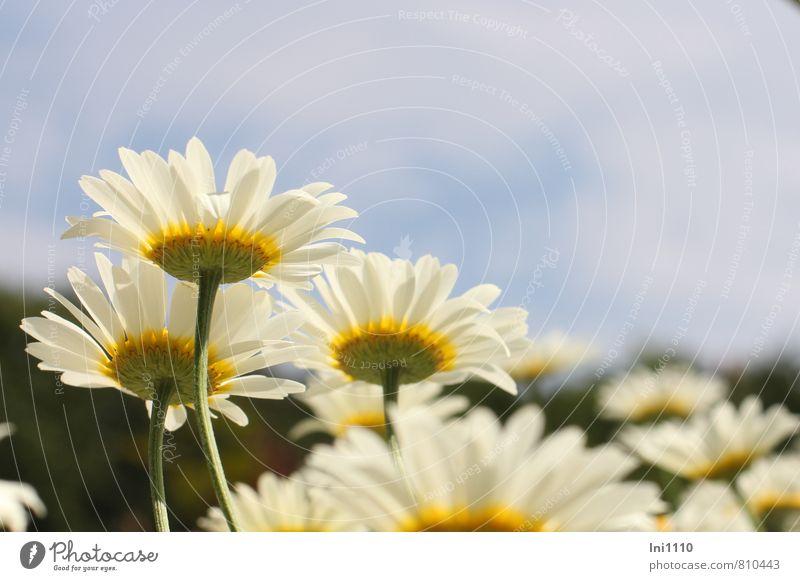 Margeriten Himmel Natur blau Pflanze schön grün weiß Sommer Blume Umwelt gelb Leben Wiese Blüte natürlich Luft
