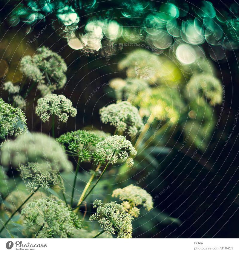 Unkraut vergeht nicht Umwelt Natur Landschaft Pflanze Tier Sommer Sträucher Blatt Blüte Wildpflanze Giersch Garten Wiese Feld Wald Blühend glänzend verblüht