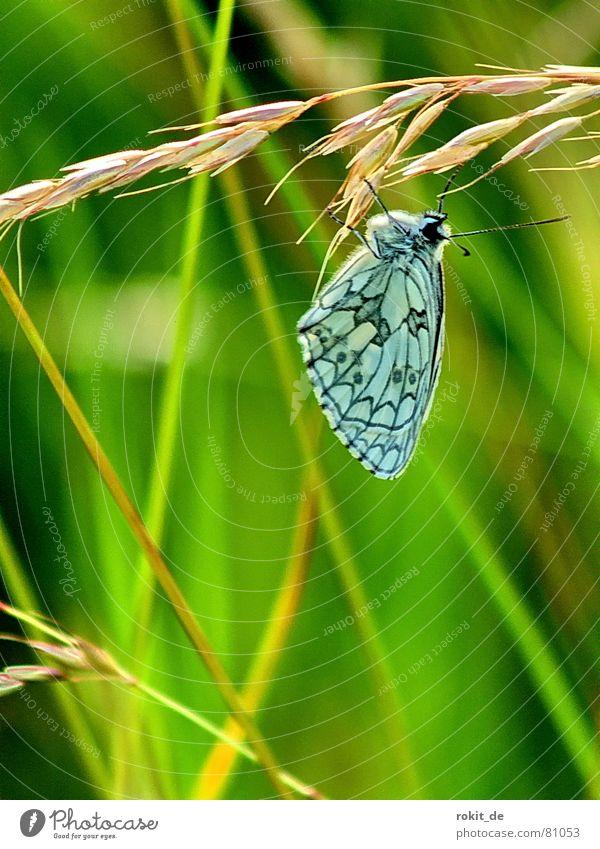 Einfach mal abhängen... Wiese Schmetterling Gras Fühler Ähren Insekt Pause Muster schwarz türkis grün gelb braun Halm Erholung blau-grün schön Mittagspause