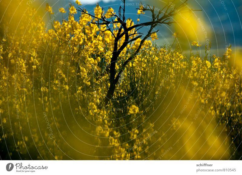 Raps Umwelt Natur Pflanze Sonnenlicht Blume Sträucher Blüte Wildpflanze gelb Ginster Ginsterblüte Blühend Blütenpflanze Blühende Landschaften leuchtende Farben