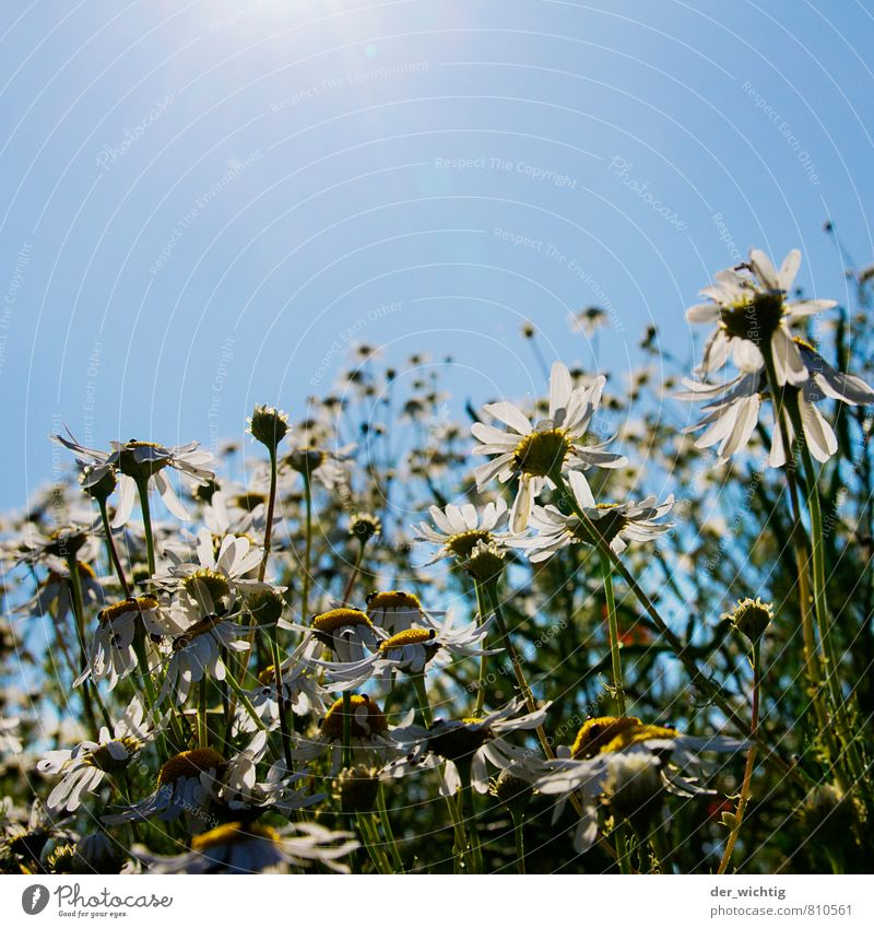 Blütenzauber Ausflug Sommer Sonne Garten Natur Pflanze Erde Wolkenloser Himmel Sonnenlicht Schönes Wetter Wärme Blume Wiese Feld Blühend leuchten Wachstum