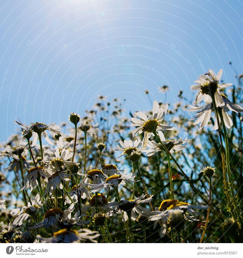 Blütenzauber Natur blau Pflanze grün weiß Sommer Sonne Blume Umwelt gelb Wärme Wiese Garten Erde Feld