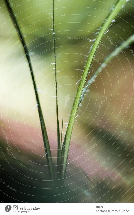 Haarig Natur Pflanze Frühling Sommer Gras Blatt Grünpflanze Wildpflanze einfach elegant Fröhlichkeit klein natürlich stachelig grün ruhig ästhetisch Einsamkeit