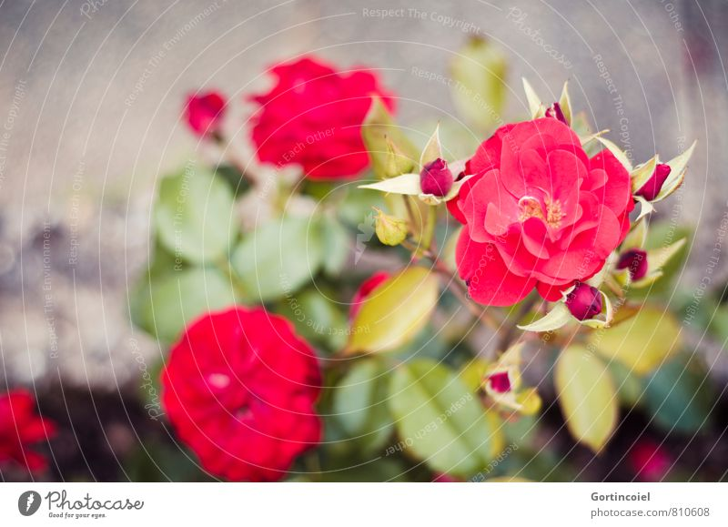 Rosaceae Pflanze schön Sommer rot Blume Liebe Garten Blühend Rose Rosengewächse Rosenblätter Rosenblüte
