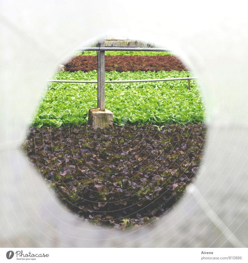 AST 7 | vorbeigeschossen Gärtnerei Landwirtschaft Forstwirtschaft Pflanze Nutzpflanze Feldfrüchte Salat Gewächshaus Glas Kugel Streifen Loch Sprung Kreis
