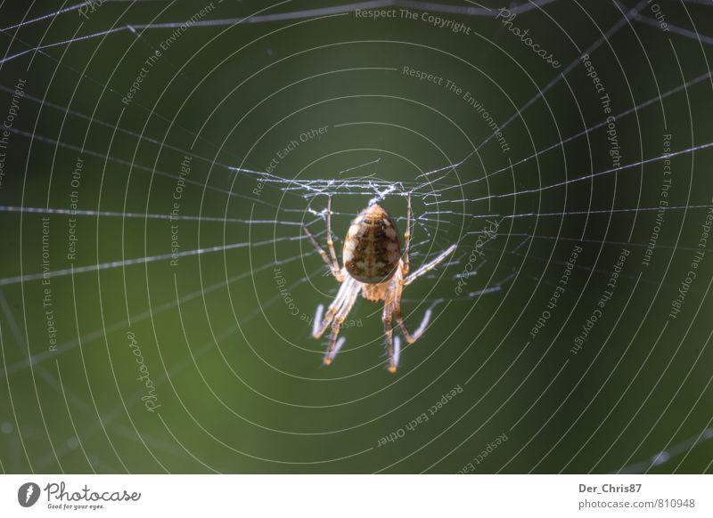 Das Netz des Jägers Umwelt Natur Tier Wildtier Spinne 1 bauen beobachten fangen Fressen hängen Jagd krabbeln warten ästhetisch bedrohlich dunkel Ekel elegant