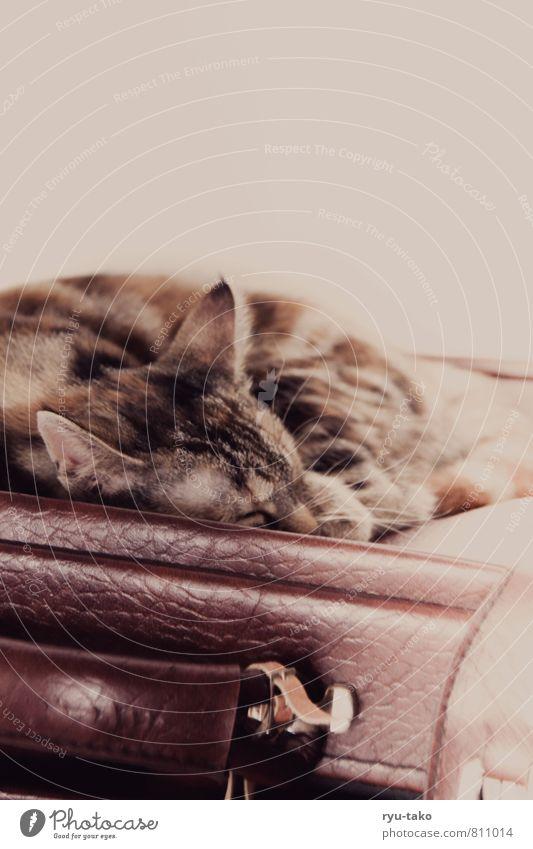 Lieblingsplatz Haustier Katze 1 Tier Tierjunges genießen liegen schlafen Glück niedlich retro schön mehrfarbig Zufriedenheit Gelassenheit ruhig stagnierend