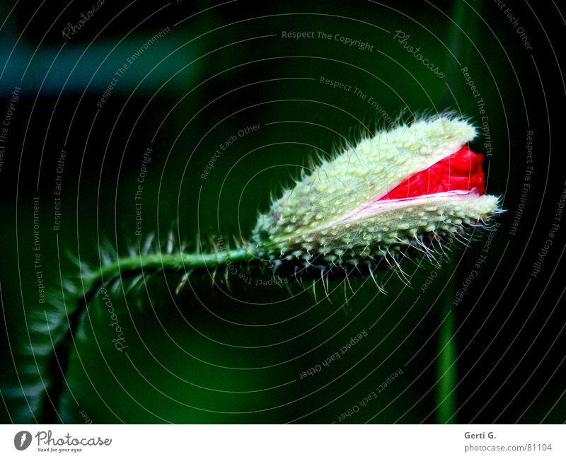 der Mohn ist aufgegangen Klatschmohn geplatzt aufgebrochen Blume rot zart stachelig offen grün knallig mehrfarbig frisch Fröhlichkeit schwarz aufdringlich