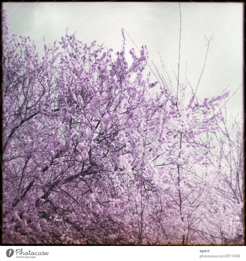 Blütezeit Natur Pflanze Baum Kirschblüten Kirschbaum Blühend natürlich weich violett rosa schön geduldig Reinheit Beginn Farbe Vergänglichkeit