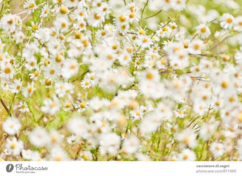 Kamille Natur Pflanze grün schön Sommer weiß Gefühle Wiese natürlich Freiheit orange träumen Design leuchten elegant Blühend