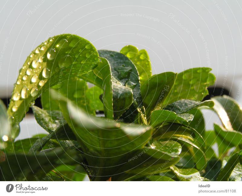 Bonsai in Freiheit Wellness Leben Erholung ruhig Meditation Umwelt Natur Landschaft Pflanze Wasser Wassertropfen Schönes Wetter Baum Blatt Grünpflanze
