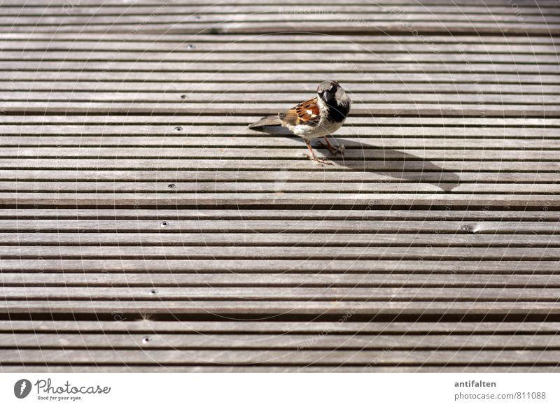 Kleiner Spatz ganz groß Balkon Terrasse Holzbrett Holzfußboden Tier Vogel Tiergesicht Flügel Krallen Haussperling 1 Nagel beobachten sitzen frech Freundlichkeit