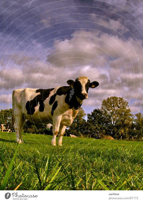 Neuer deutscher Winter Kuh Neugier Wiese Landwirtschaft Wolken Blick grün Grünfläche Landleben Dorfwiese Tier Weide Himmel blau Schwarzweißfoto Fleckvieh