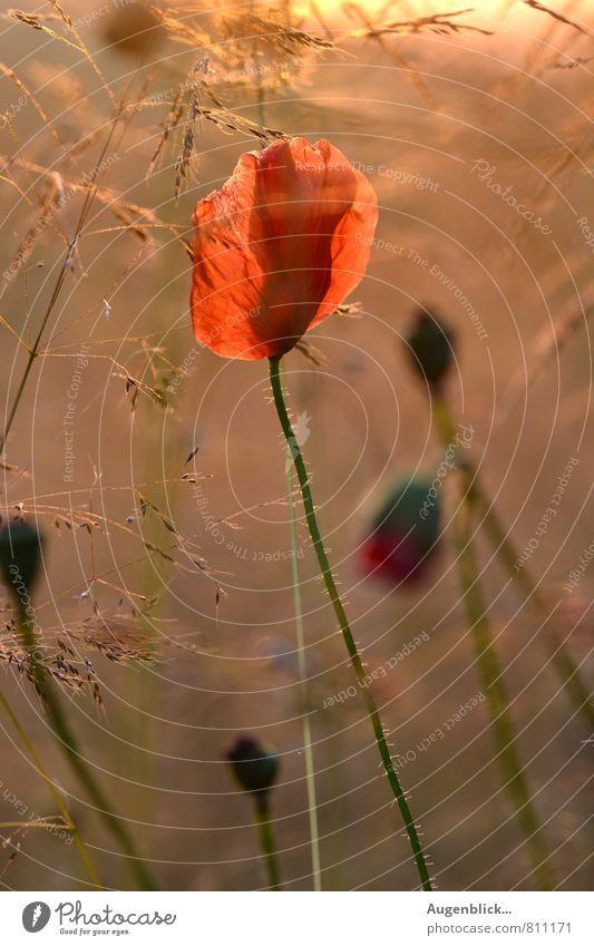 Abendlicht... Natur schön Sommer Erholung Blume ruhig Wärme Wiese Gras Zeit Mode träumen Feld Häusliches Leben Idylle leuchten